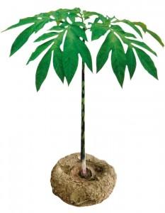 konjacplant2-233x300